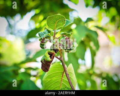 Branch of fruit tree with wrinkled leaves affected by black aphid. Cherry aphids, black fly on cherry tree, severe damage from garden pests. Close up - Stock Photo