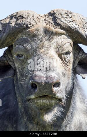 A single adult Cape buffalo, very close view and head on, portrait format, Aberdare National Park, Kenya Highlands, Kenya, Africa - Stock Photo