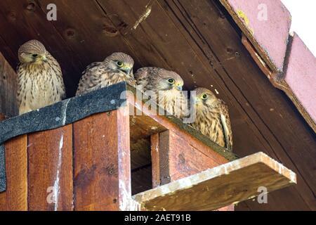Turmfalke (Falco tinnunculus) Jungvögel am Nistkasten - Stock Photo