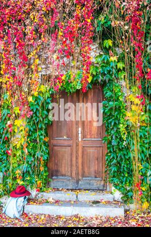 Beautiful autumn colored ivy plants growing on a wall surrounding the old wooden door - Stock Photo