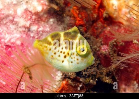 Mimic Filefish, Paraluteres prionurus. Juvenile coloration. These fish mimic the Black-Saddled Toby, Canthigaster valentini. Tulamben, Bali