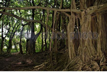 Typical growth pattern of Banyan tree located near Rainbow Falls Hilo Hawaii - Stock Photo