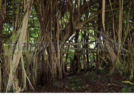 View of growth pattern Banyan tree specimen located near Rainbow Falls Hilo Hawaii - Stock Photo