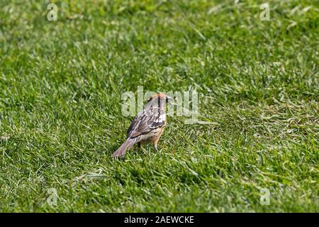 Rufous-tailed plantcutter Phytotoma rara on grassland Torres del Paine National Park Patagonia Chile South America - Stock Photo