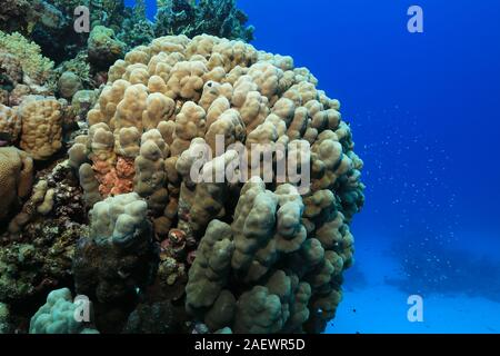 Tropical coral reef underwater in the Red Sea