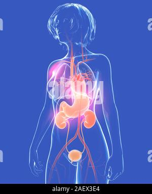 Anatomical 3d illustration of the human body, woman. Showing the internal transparent glass organs. - Stock Photo