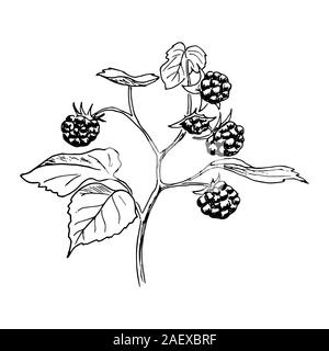Ripe raspberries on the branch with leaves. Hand drawn Sketch style ink pen vector illustration - Stock Photo