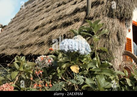 Colored hydrangea flowers in the garden of a rural house with an old thantched roof (Madeira, Portugal, Europe) - Stock Photo