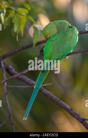 Indian Ring-Necked Parrots at Kadugodi Bridge Bangalore India - Stock Photo