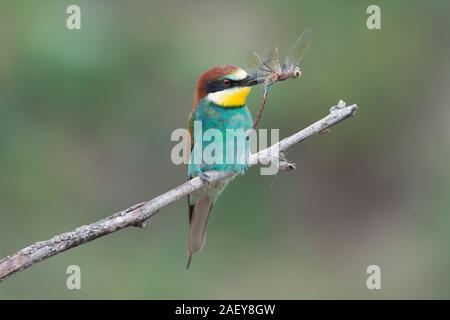 The European bee-eater (Merops apiaster) is a near passerine bird in the bee-eater family Meropidae. - Stock Photo