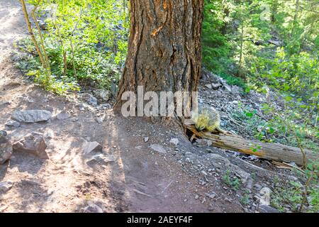 Maroon Bells crater lake trail footpath in Aspen, Colorado forest and one porcupine wildlife wild animal - Stock Photo