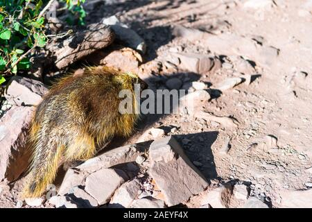 Maroon Bells crater lake trail path road in Aspen, Colorado forest and closeup of one porcupine wildlife wild animal - Stock Photo