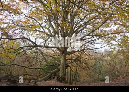 Large old beech tree (Fagus sylvatica) with autumnal colours and some large broken branches, among fallen leaves on heathand, Berkshire, November - Stock Photo