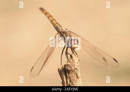 Crocothemis annulata female scarlet dragonfly female of this common dragonfly in Andalusia perched on top of a plant natural light - Stock Photo