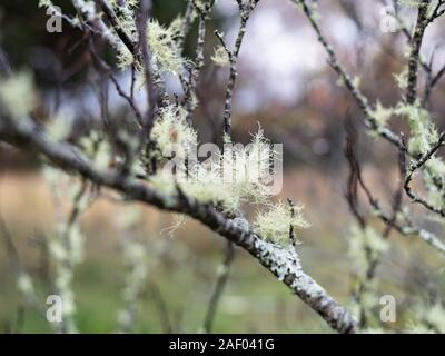 Old Mans Beard Growing on a Tree - Stock Photo