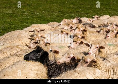 A flock of sheep grazing on a pasture in an agricultural landscape, one black sheep in between - Stock Photo