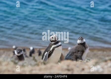 penguin on beach of patagonia argentina