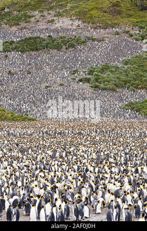 King Penguins in the world's second largest King Penguin colony on Salisbury Plain, South Georgia, Southern Ocean. - Stock Photo
