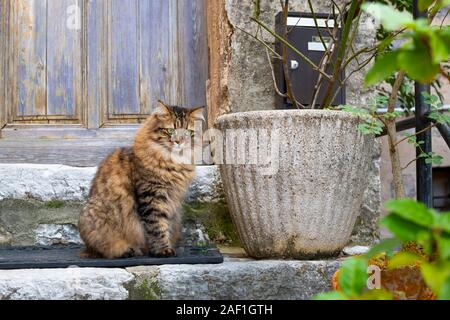 A beautiful long haired tabby cat with brilliant green eyes outside a weathered blue door in the medieval village of Gourdon, France. - Stock Photo