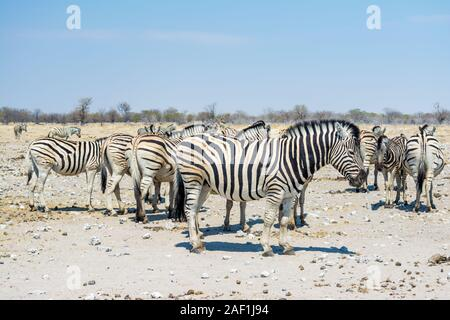 group Burchell's zebra, common zebra, Equus burchellii, Plains zebra, zebra, Equus quagga, near a waterhole, Etosha National Park, Namibia - Stock Photo