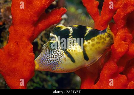 Black-saddled Leatherjacket, Blacksaddle Filefish (Canthigaster amboinensis), sleeping, holding on a sponge, Ari Atoll, Maldive islands