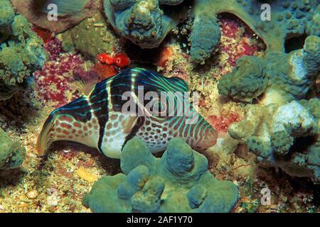 Black-saddled Leatherjacket, Blacksaddle Filefish, Black-saddled toby (Canthigaster amboinensis), sleeping, Ari Atoll, Maldive islands