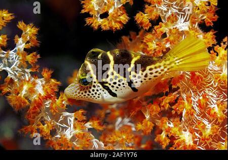 Black-saddled Leatherjacket, Blacksaddle Filefish, Black-saddled toby (Canthigaster amboinensis), sleeping at soft corals, Ari Atoll, Maldive islands