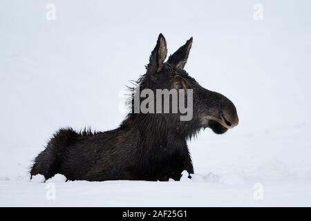 Moose / Elch ( Alces alces ) in its first winter, young calf, resting, lying, ruminating in snow, looks cute and funny, Yellowstone area, Wyoming, USA - Stock Photo