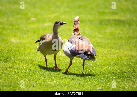 Two fighting Egyptian geese on a green meadow, South Africa - Stock Photo
