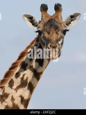 Close-up portrait of a female Masai giraffe (Giraffa camelopardalis tippelskirchii). Sinya Wildlife Management Area, Tanzania. - Stock Photo