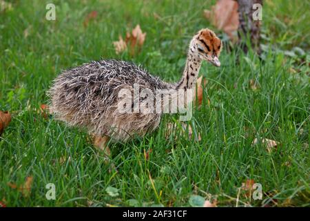 Portrait of little an african ostrich chick at ostrich farm. Pretty cute ostrich chicken of 5 days old walking in green grass and field at zoo. - Stock Photo