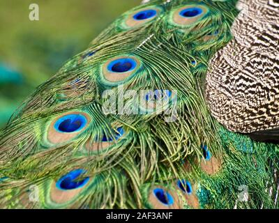 Beautiful tail of a peacock bird - Stock Photo