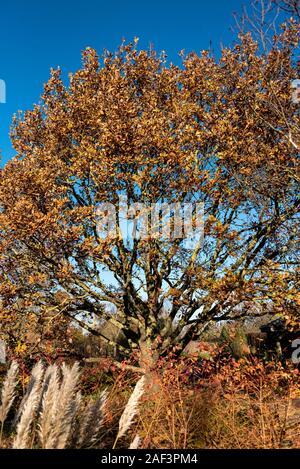 Quercus Robur, Quercus pedunculata, Fagaceae, English oak, Common Oak. In early winter with some good autumn colour. - Stock Photo