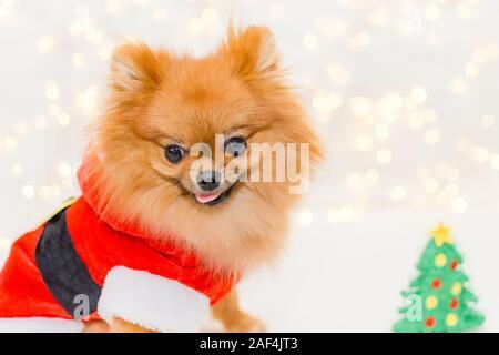 funny smiling pomeranian in santa costume on christmas bokeh background - Stock Photo