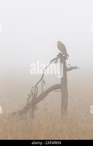 A female African Marsh Harrier perched on a broken tree, early morning mist, close, portrait format, Laikipia, Ol Pejeta Conservancy, Kenya, Africa - Stock Photo