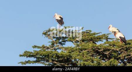 Three White Storks perched in the top of a tree, all facing the same way, wide landscape format, Laikipia, Ol Pejeta Conservancy, Kenya, Africa - Stock Photo