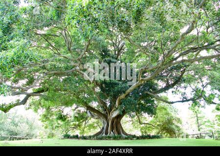 Fig tree in the Royal Botanic Gardens, Sydney, Australia - Stock Photo