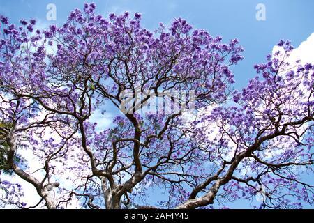 Jacaranda in the Royal Botanic Gardens, Sydney, New South Wales, Australia - Stock Photo