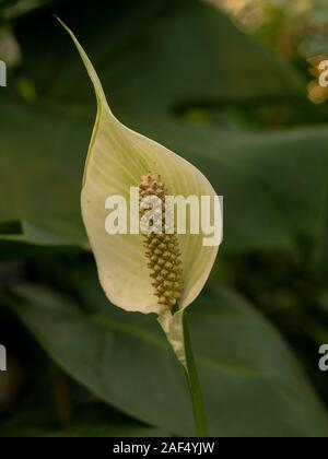 Petal and seeds of a peace lily flower, Spathiphyllum, with green leaves - Stock Photo