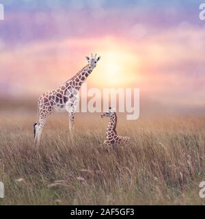 Two giraffes in grassland at sunset - Stock Photo