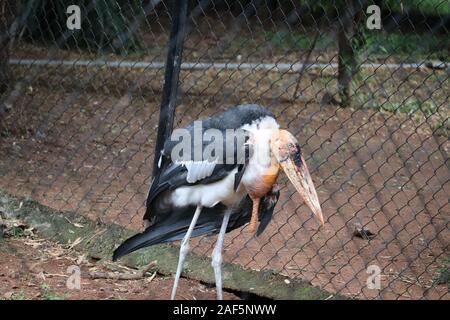 Marabou close up. The greater adjutant (Leptoptilos dubius) is a member of the stork family.File #: 272935813 Preview Crop Find Similar Leptoptilos du - Stock Photo