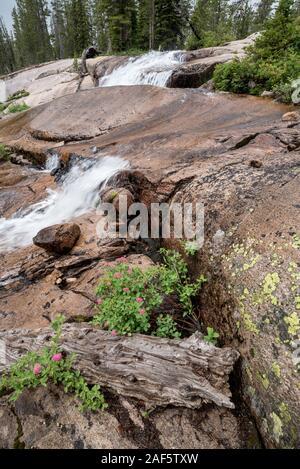 Spiraea growing next to a stream in Idaho's Sawtooth Mountains. - Stock Photo