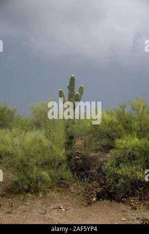 lone Saguaro cactus & desert vegetation seen against a band of dark sky in eerie gloomy light that warns against an approaching storm Tucson Arizona - Stock Photo