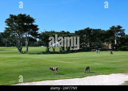 Rehe auf einem Golfplatz, am 17-Mile Drive, kostenpflichtige KŸstenstra§e der Monterey-Halbinsel zwischen Carmel-by-the-Sea und Monterey, Kalifornien, - Stock Photo