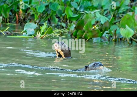 Giant River Otter Duo - Stock Photo