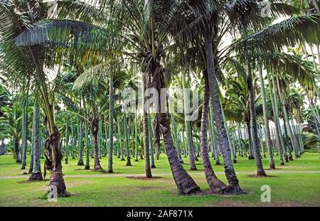 One of the most valuable trees for ancient Hawaiians was the Coconut Palm (Cocos nucifera), like these that having long been growing in a grove of 2,000 palm trees on Kauai, one of the eight major islands in Hawaii, USA. Brought to the Aloha State by Hawaii's Polynesian settlers, coconut trees provided food, liquid nourishment, and building materials. The towering palms reach an average height of 60 feet (18 meters) but can grow as tall as 100 feet (30 meters). The average lifespan of the tree is 60 to 70 years, although some coconut palms live for more than a century. - Stock Photo