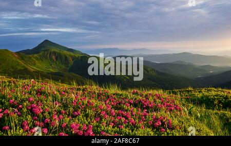 Mountains covered with flowers. Majestic Carpathians. Beautiful landscape. Breathtaking view