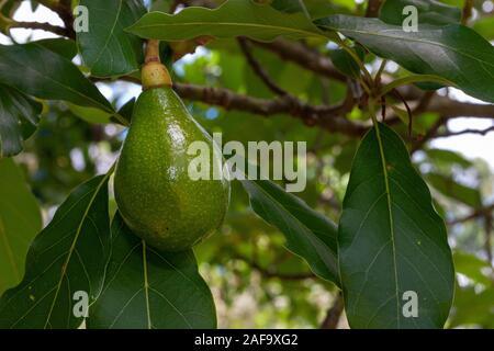 Avocado fruit, Persea americana on the tree