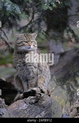 Wildkatze, Felis silvestris - Stock Photo