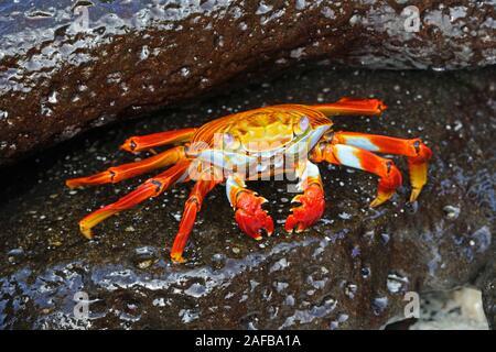 Rote Klippenkrabbe, Felsenkrabbe, Quadratkrabbe (Grapsus grapsus),  Insel Espanola, Galapagos, Unesco Welterbe, Ekuador, Suedamerika, Pazifischer Ozea - Stock Photo